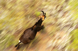 Hippotragus niger (Sable Antelope)