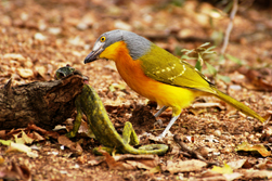 Malaconotus blanchoti (Grey-headed Bush-Shrike)